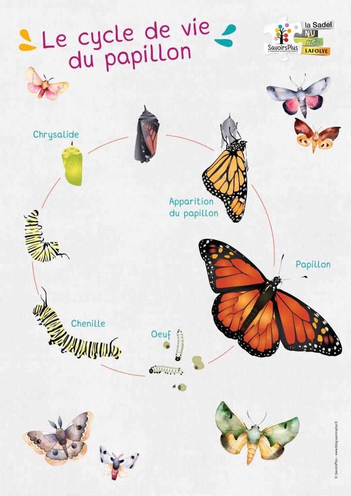 Cycle de vie du papillon_Savoirs plus.jpg